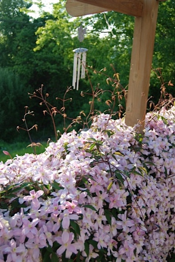 cottage clematis