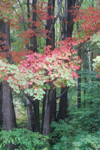 fall maples turning color
