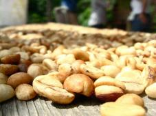 raw coffee beans at the family farm, ponce, pr