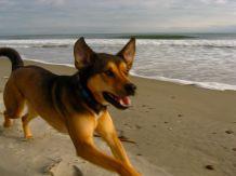 dog in full flight