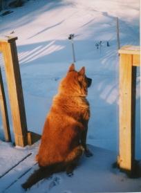 ginger on snow