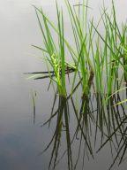 pond grasses