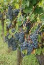 Sangiovese grapes, Chianti Country