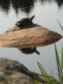 sunning turtle