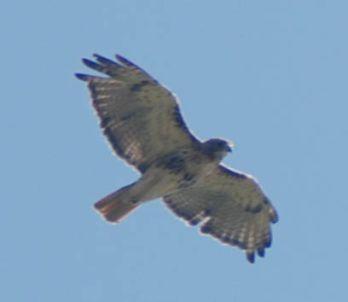 westport hawk