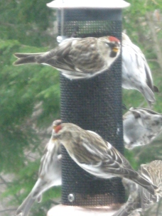 winter birds at feeder