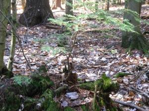 hemock sapling