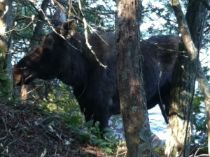 Moose stranded in trees by the lake