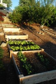 sprouting veggies
