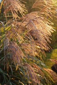 autumn grasses - sbartlett
