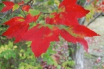 leaves turning red