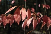pink leaves of fall - jhester