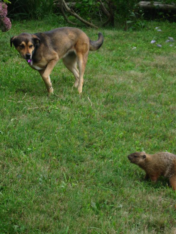 Loki meets woodchuck